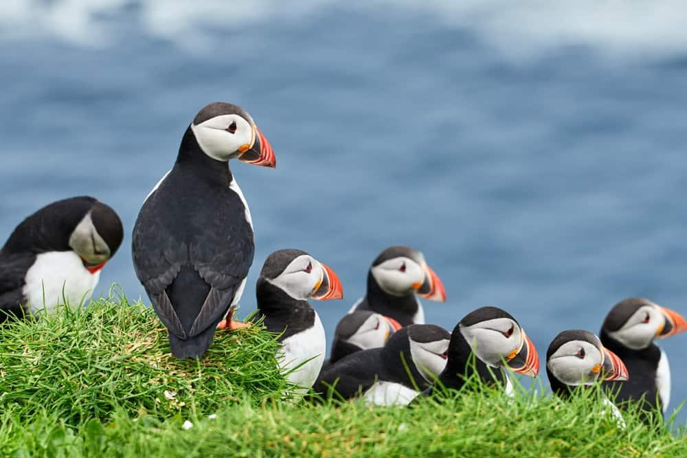 Faroe Adaları Puffinler