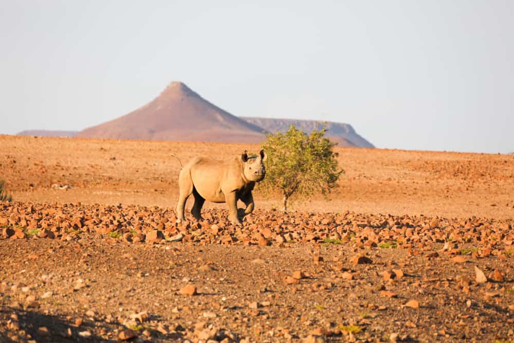 Desert Rhino Camp, Namibya