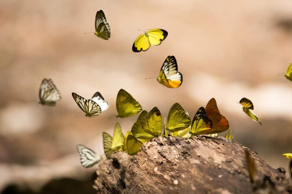 Saithip Kelebek Bahçesi Tayland