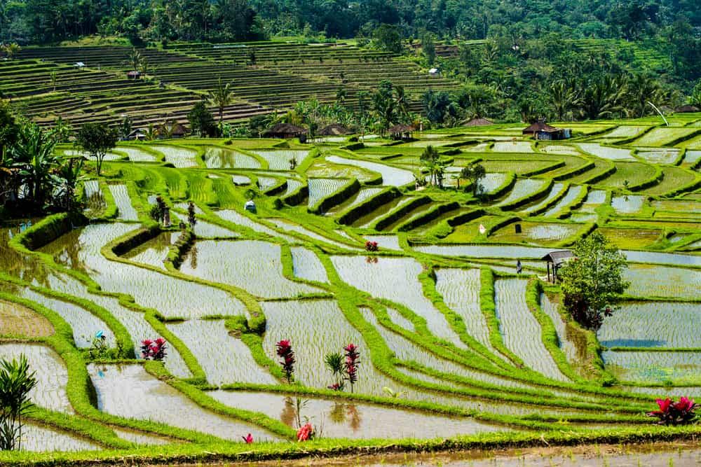 Jatiluwih Pirinç Terasları Bali