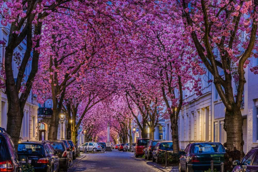 Kiraz Çiçeği Sokağı Bonn