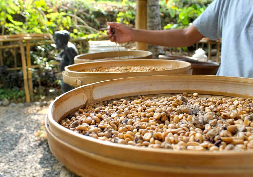 Luwak Kahvesi Üretim Tesisleri Bali