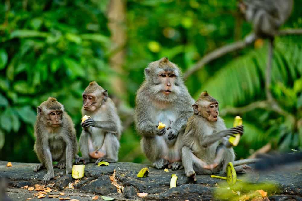 Maymun Ormanı (Sacred Monkey Forest Sancuary) Bali