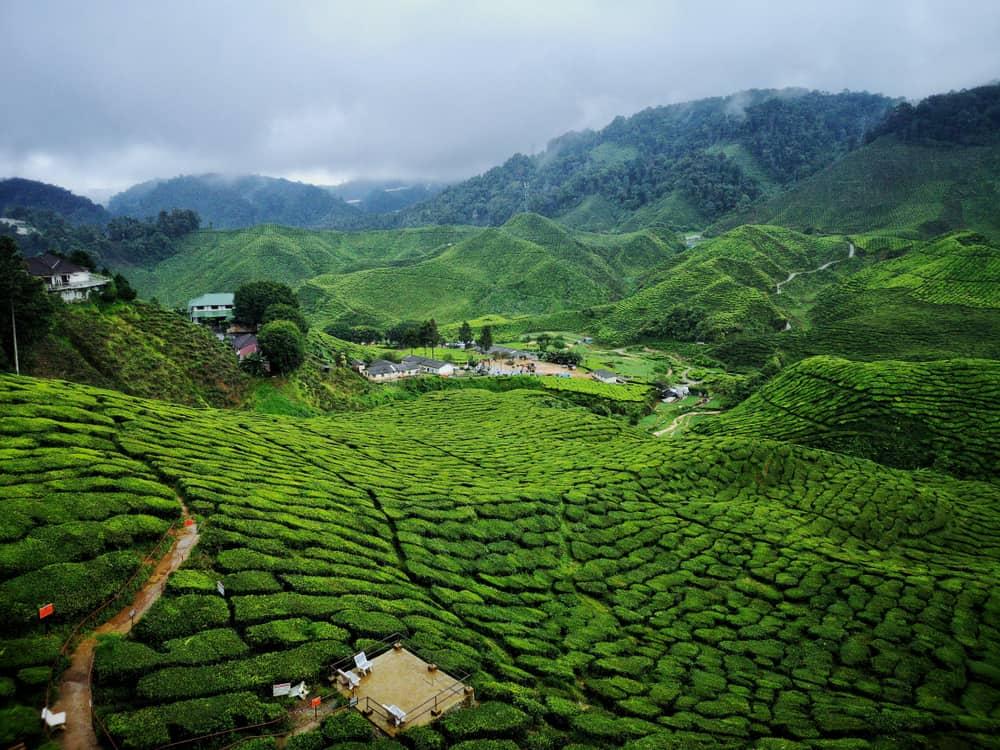 Kamerun Çay Tarlası