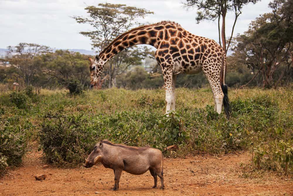 Zürafa Merkezi Naiorobi