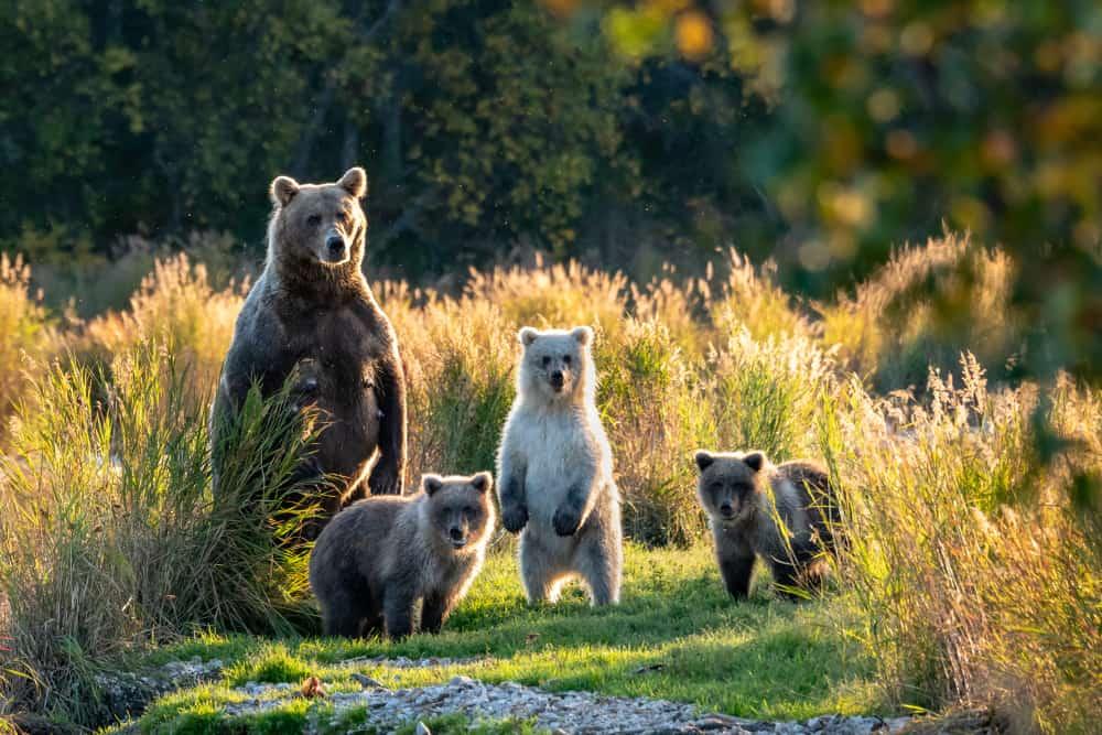 Alaska kahverengi ayı