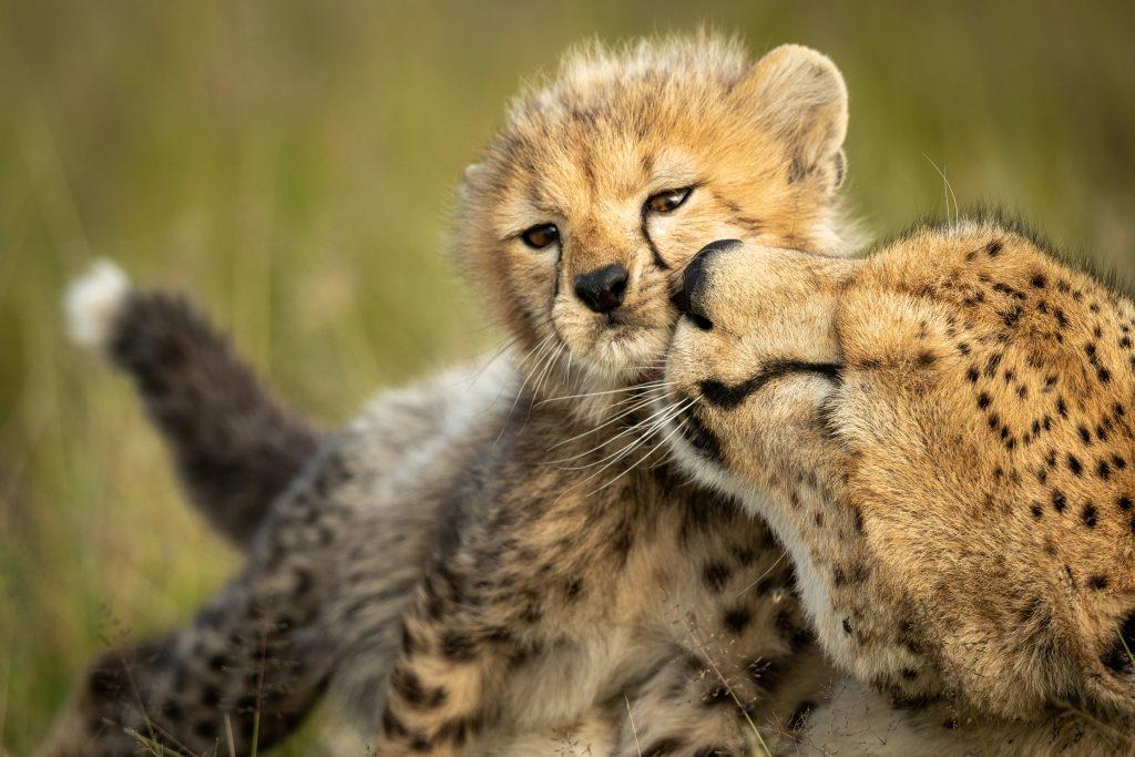 Çita ve Yavrusu