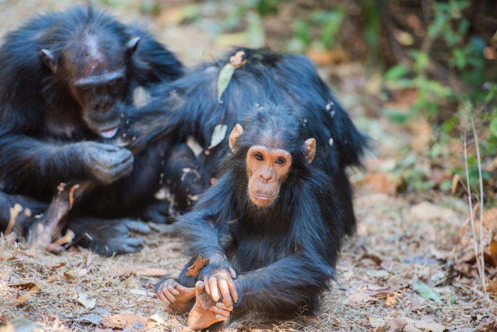 Şempanzeler