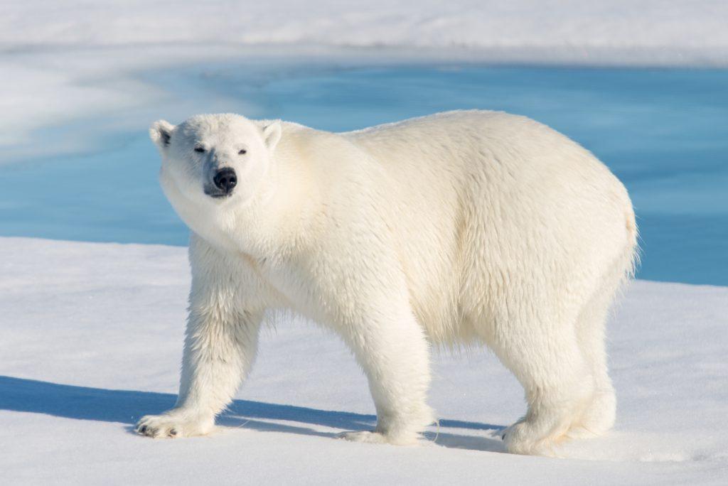 Kutup Ayıları, Antarktika