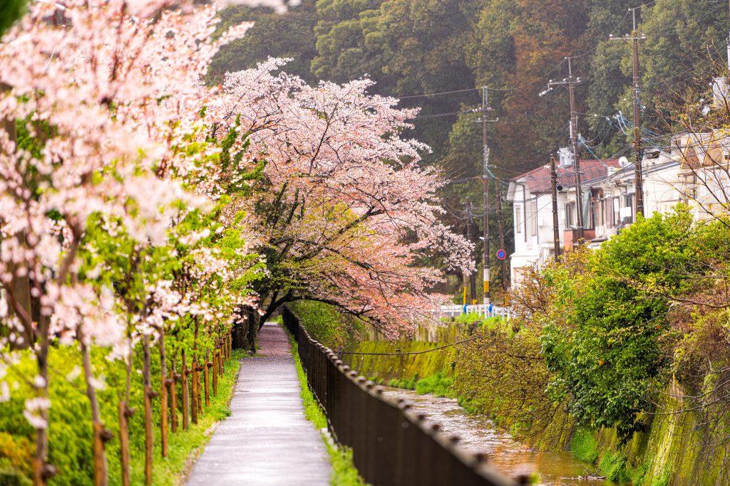 Philosopher's Path (Filozof Yolu), Kyoto, Japonya