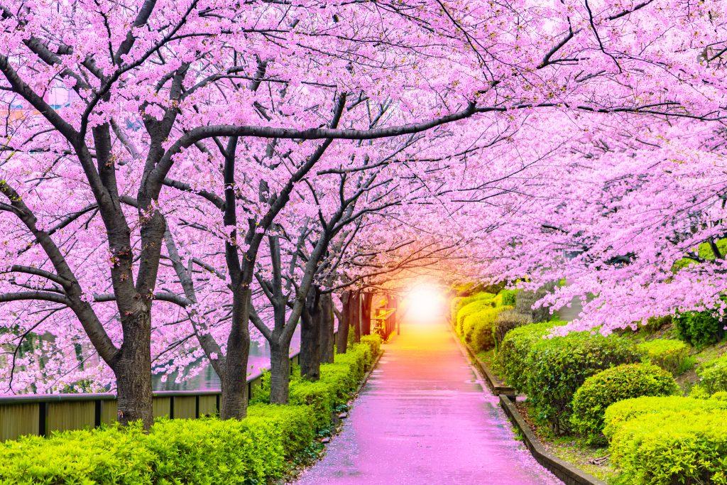 Kiraz Çiçeği Festivali (Cherry Blossom Festival) – Güney Kore